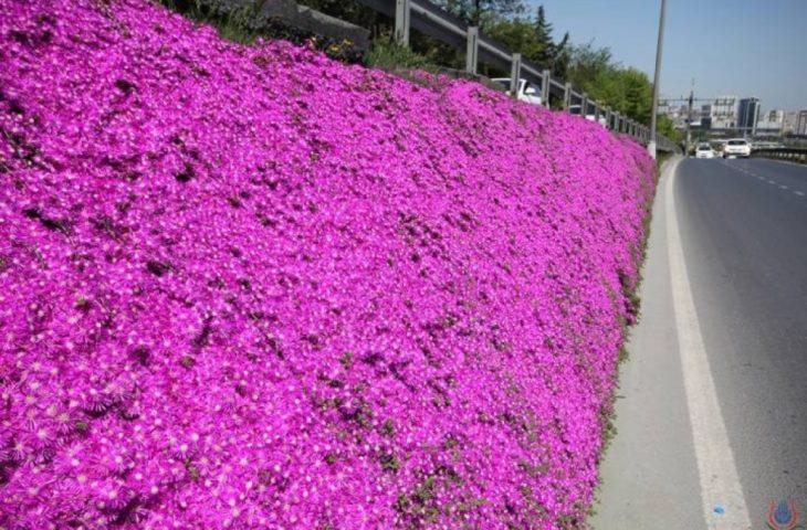 acem halısı çiçeği