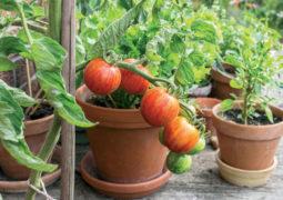 domates-bakımı-ve-sulaması