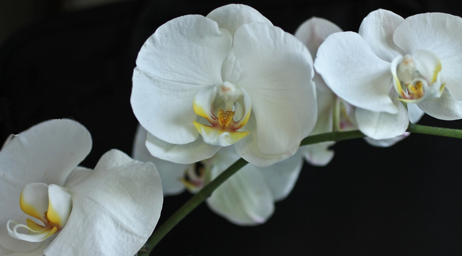 Para Çiçeği ve Orkide