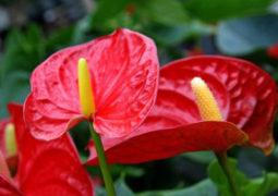 antoryum-çiçeği
