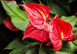antoryum-çiçeği bakımı ve çoğaltılması hakkında püf noktalar