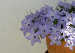 CAMPANULA çiçeği bakımı
