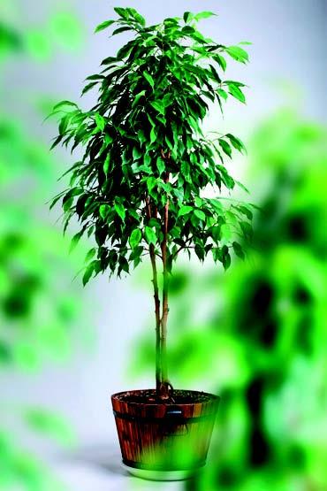 Ficus/Benjamina