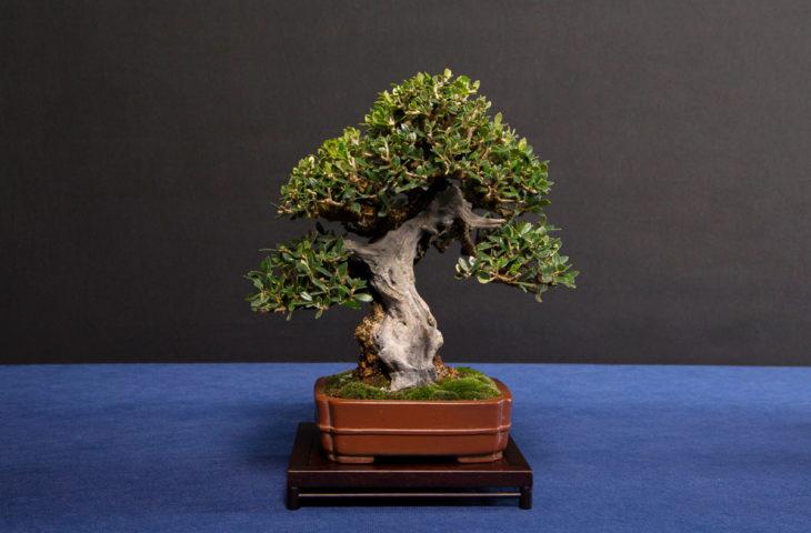 bonsai bakımı, sulaması