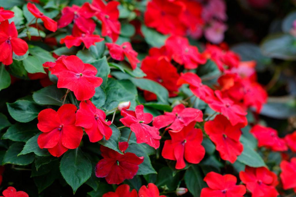 Cam Güzeli çiçeği