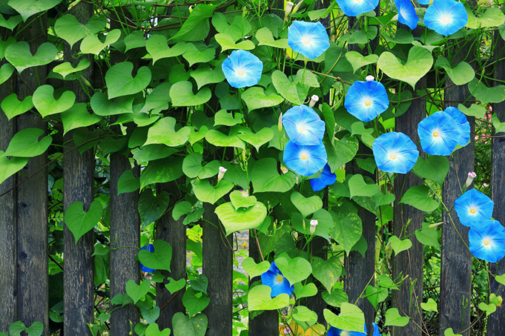 Kahkaha çiçeği petunya bakımı, sulaması, çoğaltılması