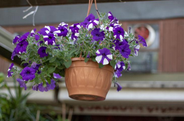 kahkaha-çiçeği petunya bakımı