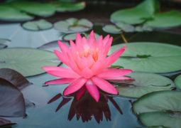 Lotus çiçeği (Nilüfer)