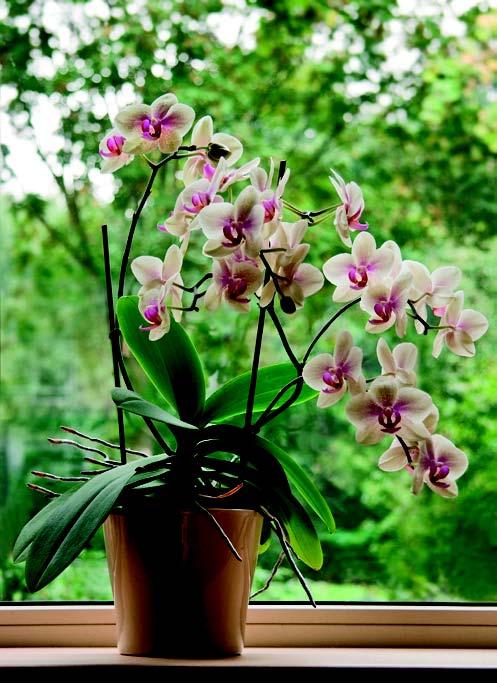 Orkide/Phalaenopsis