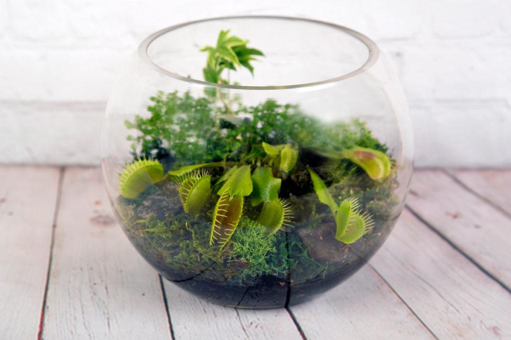 Böcek yiyen bitkiler - Sinek Kapan