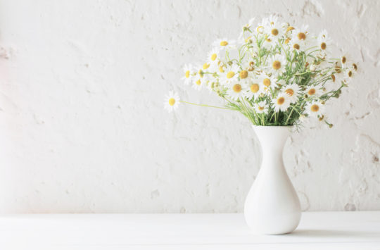 yoğurt-çiçeği-papatya