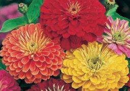 zinnia çiçeği bakımı