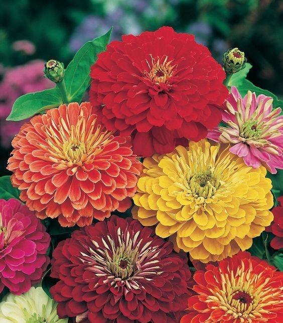 Zinya çiçeği (zinnia)