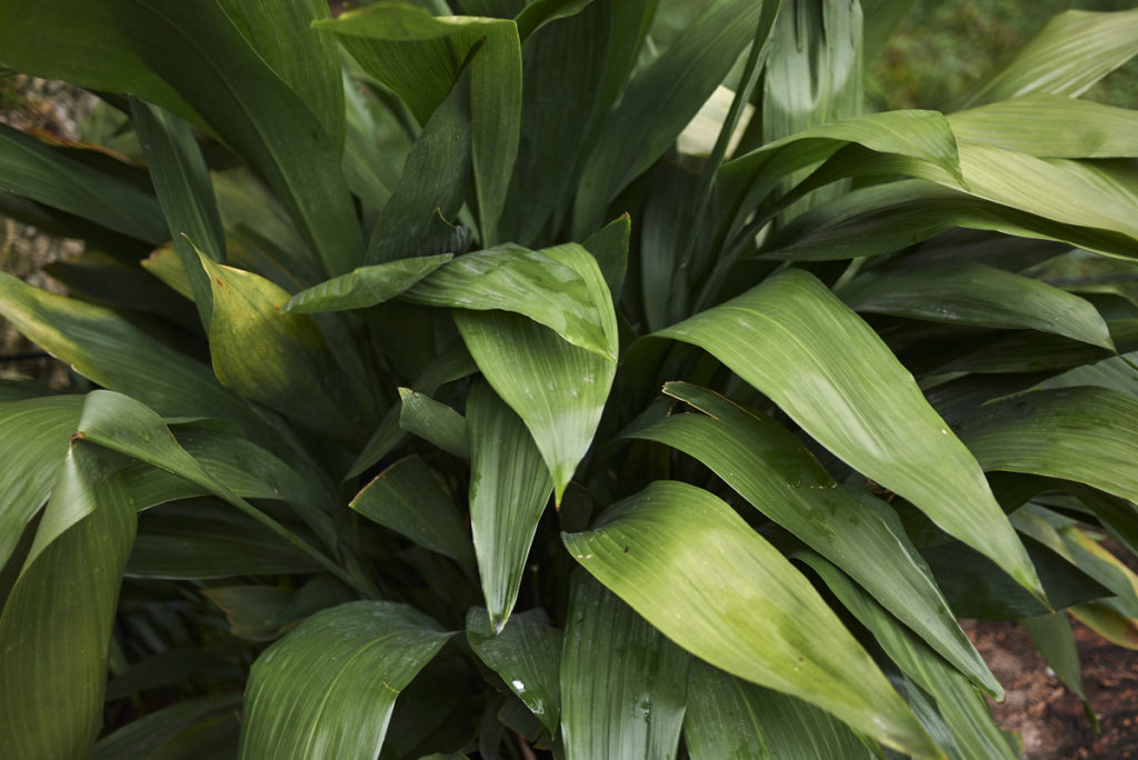 Salon yaprağı