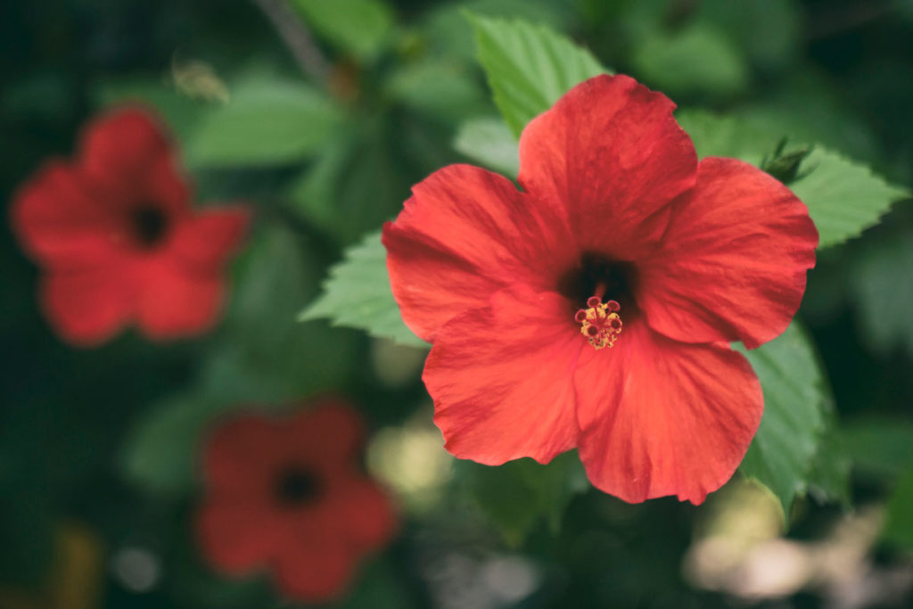 Japon gülü, çin gülü, Hibiscus rosa-sinensis