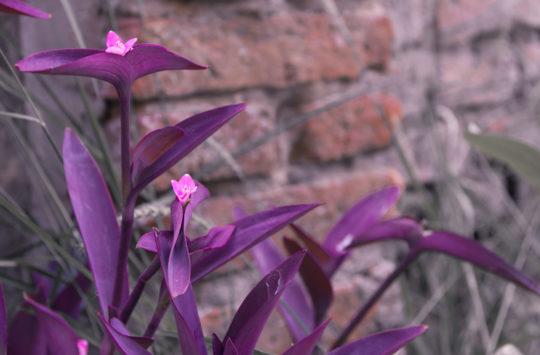 telgraf-çiçeği