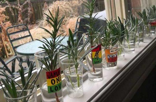 çeltiklerle çoğaltılabilen bitkiler