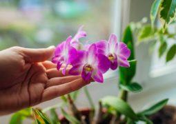 dendrobium-orkide bakımı
