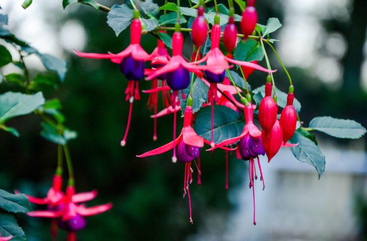 Küpe çiçeği bakımı, budaması, anlamı, püf noktaları