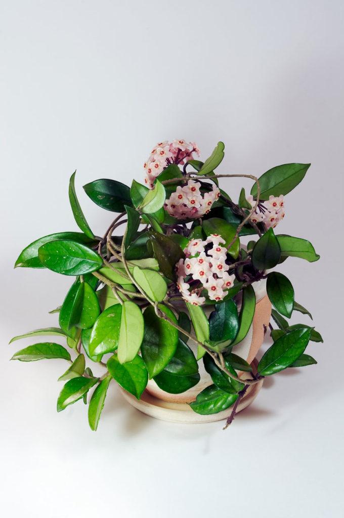 Mum çiçeği çeşitleri, çoğaltılması ve bakımı
