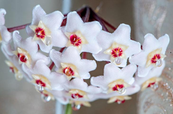mum çiçeği bakımı püf noktaları, sulanması, çoğaltılması, çeşitleri, kokusu