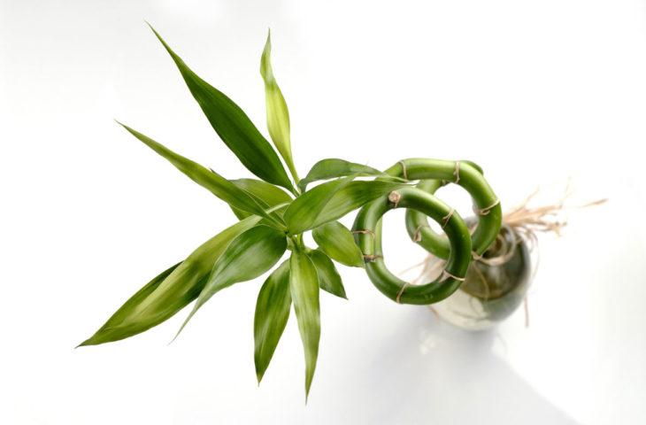 sans-bambusu-bakımı