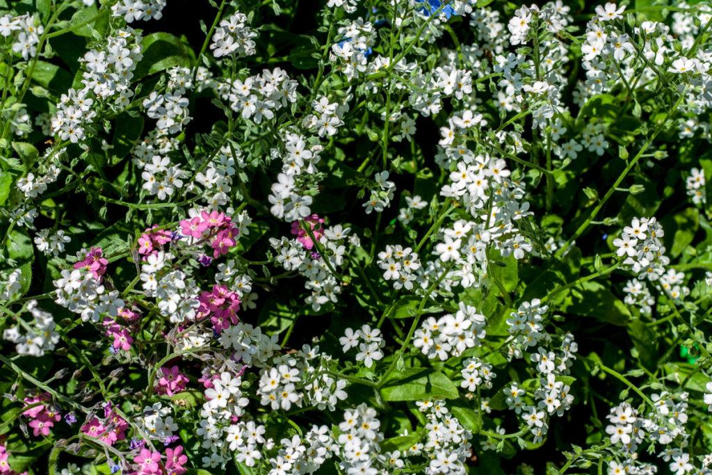 Unutmabeni çiçeği renkleri ve özellikleri