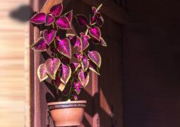 yaprak-güzeli bakımı ve özellikleri çoğaltma, budama