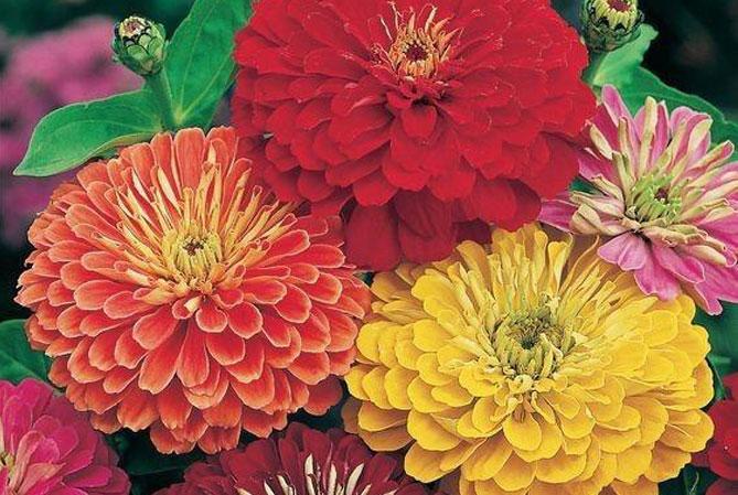 Zinya (Kirli hanım çiçeği)