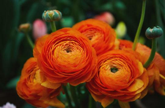 acem-düğün-çiçeği bakımı
