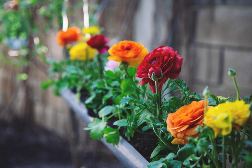 Acem Düğün Çiçeği renkleri