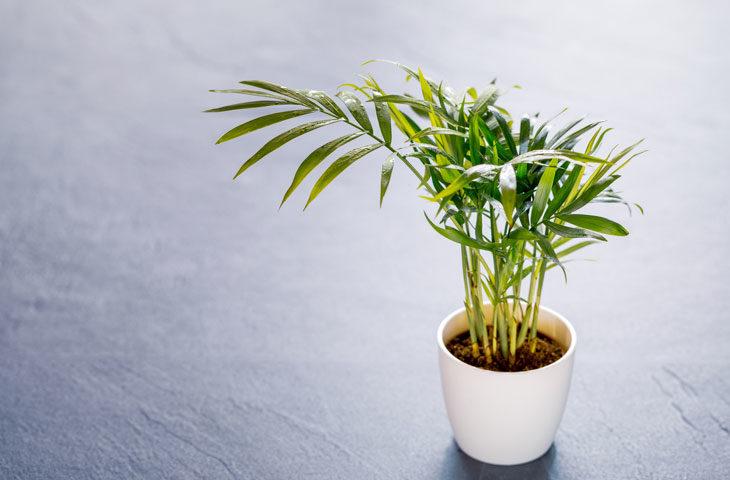 dağ-palmiyesi-bakımı