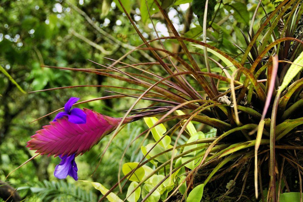 hava çiçeği bakımı, özellikleri, Tillandsia