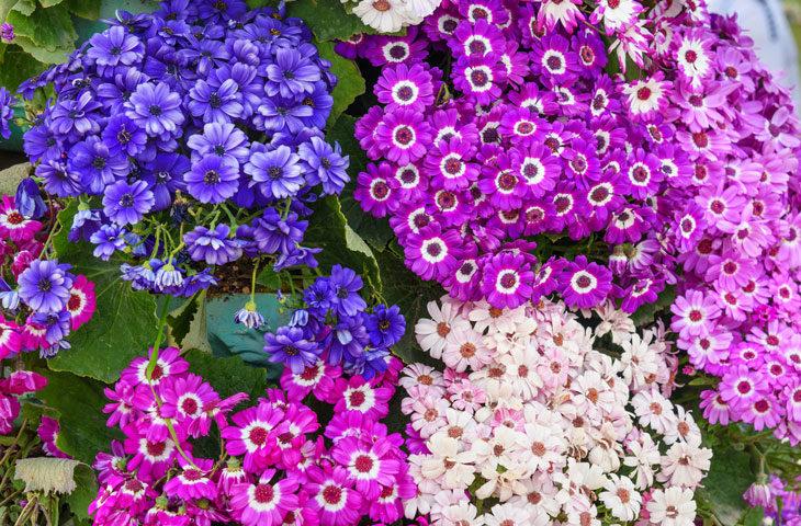 sinerelya-çiçeği bakımı