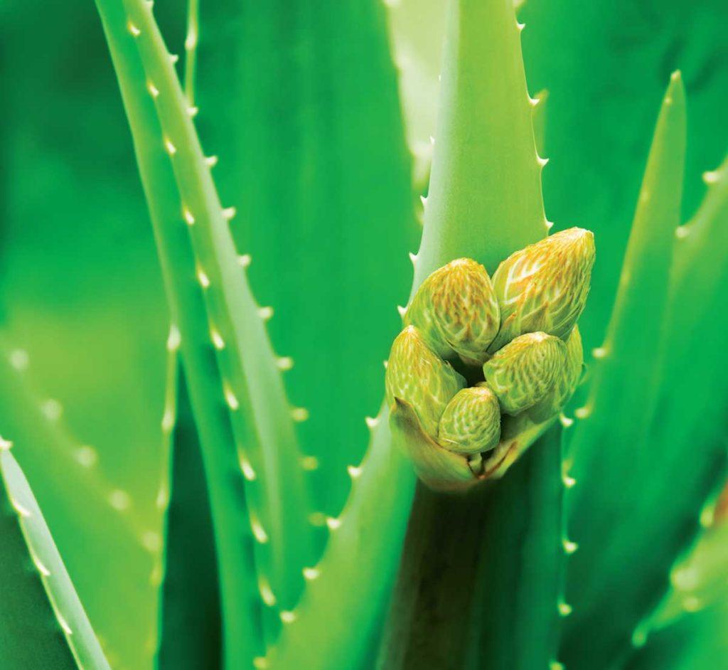Aloe vera çiçeği nasıl yetiştirilir