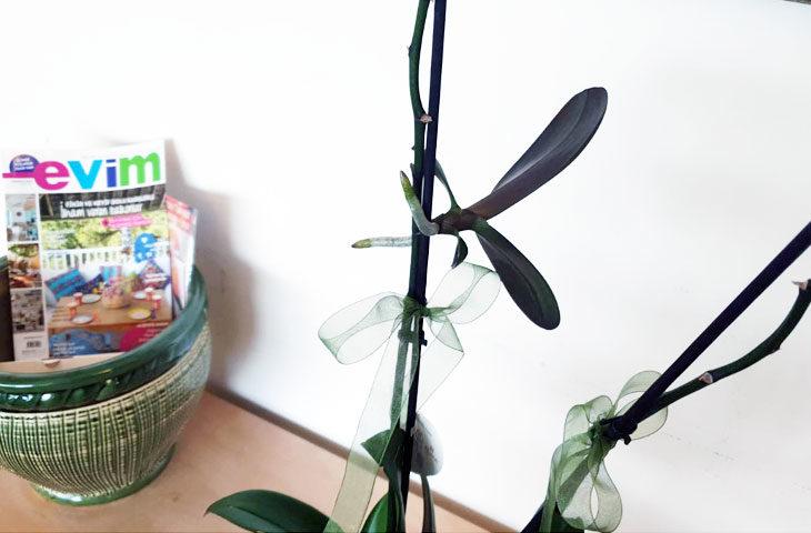 keiki-ayırma nedir, keiki nedir, orkide keiki nasıl ayrılır