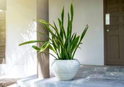 PAŞA-KILICI kılıç çiçeği
