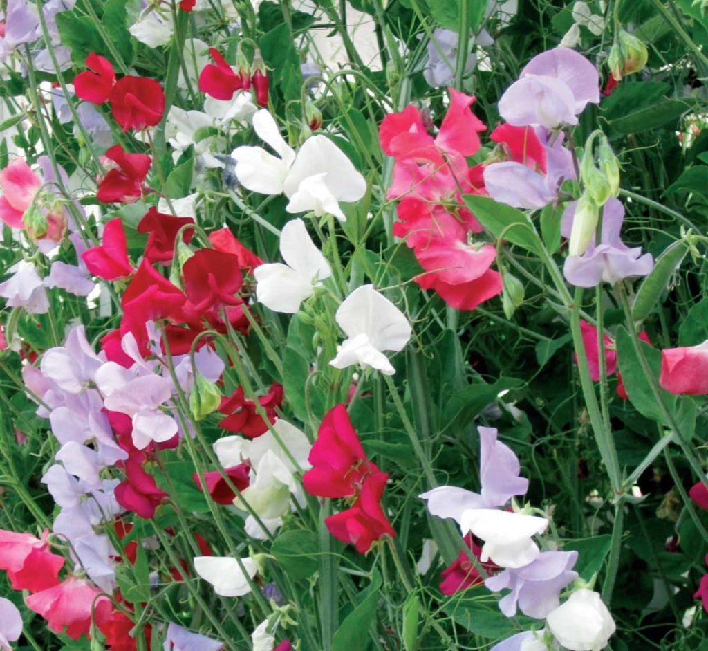 Bezelye çiçeği