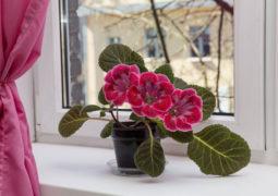 gloksinya-evde-yetiştirilebilecek-bitkiler