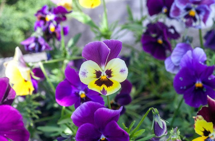 hercai-menekşe-Viola tricolor bakımı-nasıl