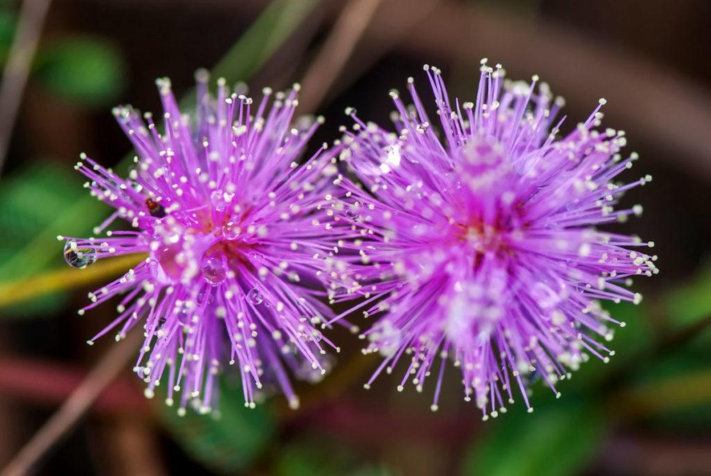 Küstüm çiçeği özellikleri