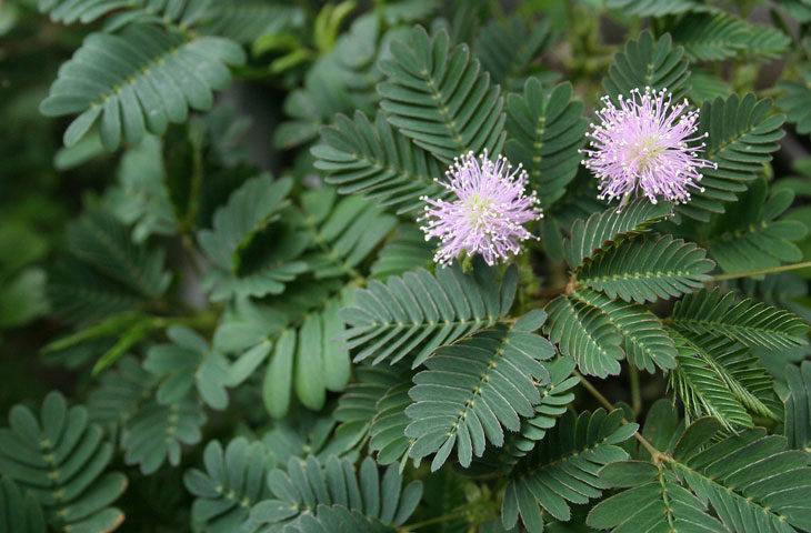 küstüm-çiçeği-bakımı