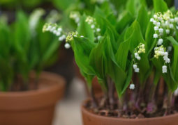 müge-çiçeği bakımı