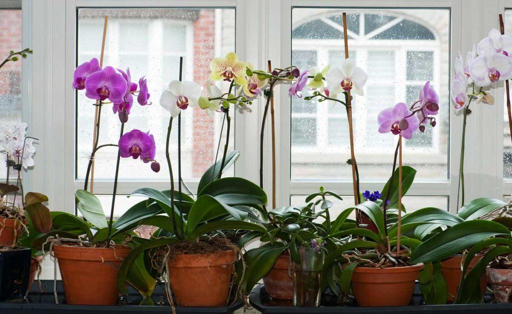 Orkide keiki ayırma