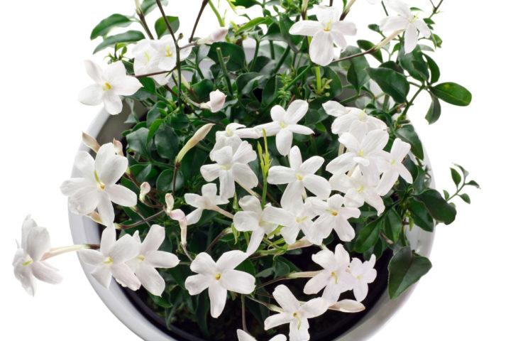 yasemin-çiçeği-bakımı