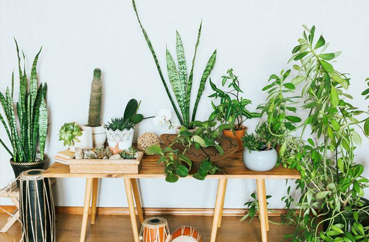 Susuzluğa dayanıklı iç mekan bitkileri