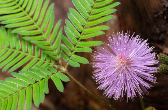 küstüm-çiçeği bakımı