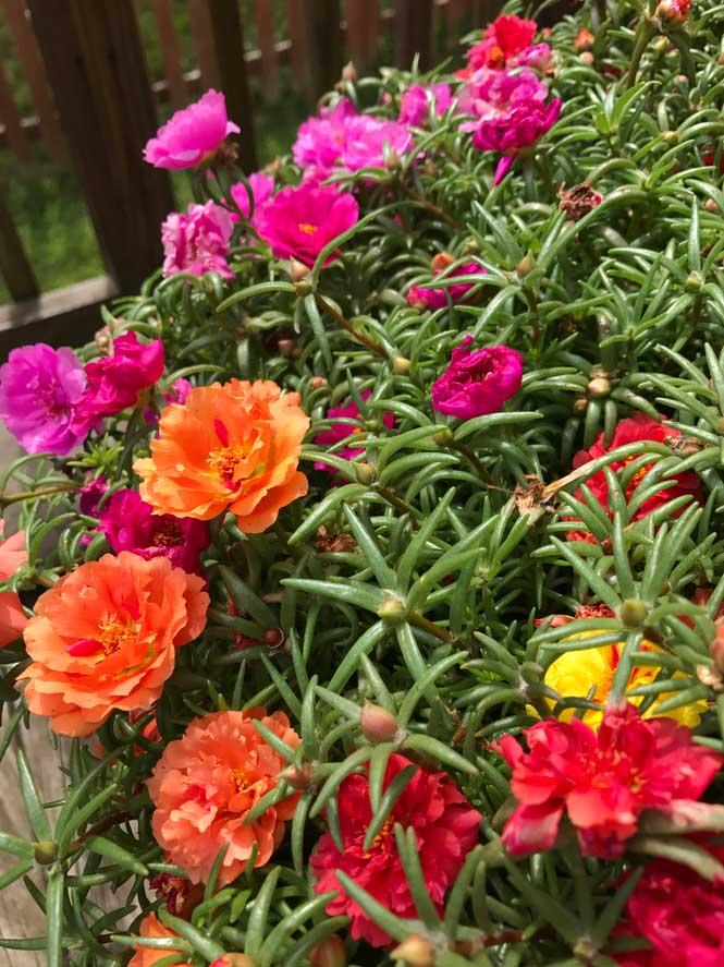 Kedi tırnağı bitkisi bakımı