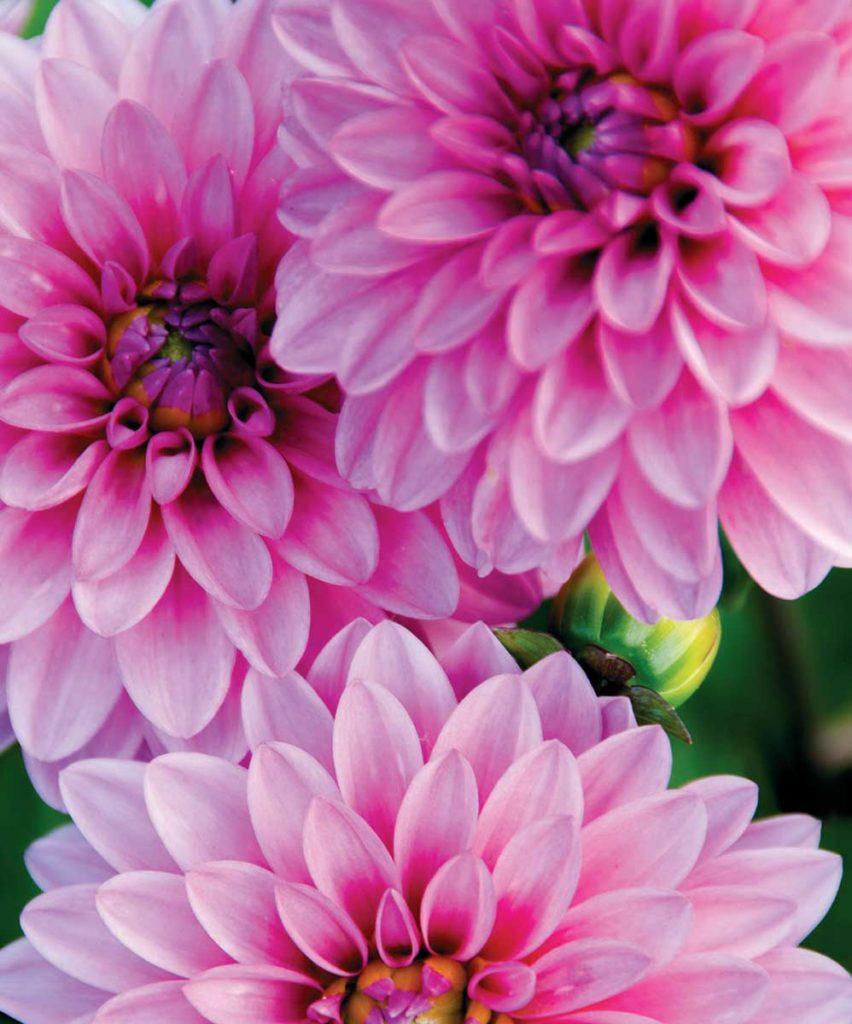 Yıldız çiçeği özellikleri