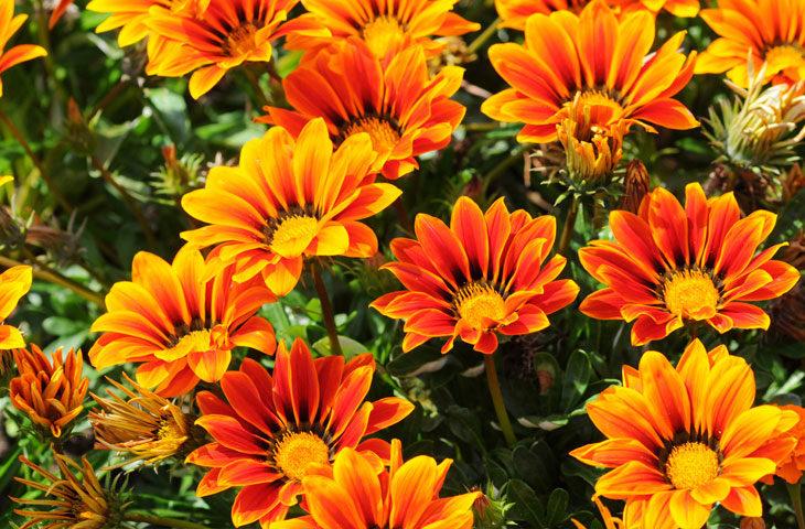 gazanya-çiçeği-bakımı